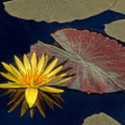 Sun-kissed Water Lily Poster