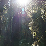 Sun Penetrates The Redwood Forest Poster