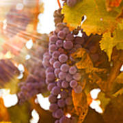 Sun Ripened Grapes Poster by Diane Diederich