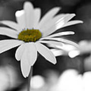 Sun-speckled Daisy Poster