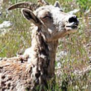 Sunbathing Mountain Sheep Poster