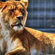 Sunbathing Lioness  Poster