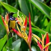 Sunbird On Heliconia Ginger Flowers Singapore Poster