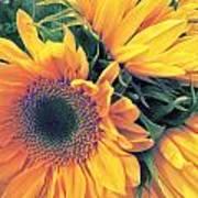 Sunflower A Poster