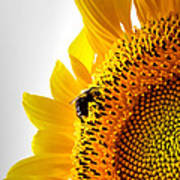 Sunflower And Bee 2 Poster