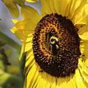 Sunflower And Bee-3922 Poster