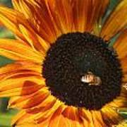 Sunflower And Bee-4041 Poster