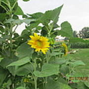 Sunflower And Cornfield Poster