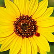 Sunflower And Ladybird Beetle 2am-110490 Poster