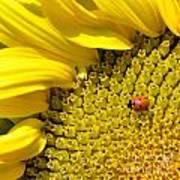 Sunflower And Ladybug Poster