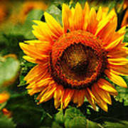 Sunflower At Buttonwood Farm Poster