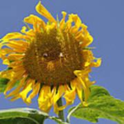 Sunflower At Latrun Poster