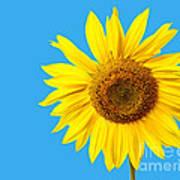 Sunflower Blue Sky Poster