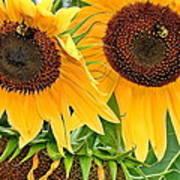 Sunflower Close Up Poster