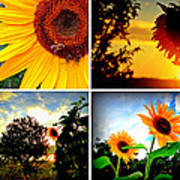 Sunflower Collage II Poster