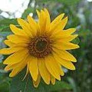 Sunflower Directly... Poster