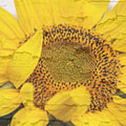 Sunflower Drying Up Poster
