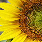 Sunflower Face Poster