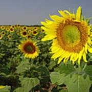Sunflower Field 1 Poster
