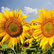 Sunflower Field And Blue Sky Poster