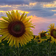 Sunflower Field Poster by Debra and Dave Vanderlaan