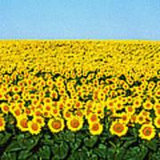 Sunflower Field, North Dakota, Usa Poster
