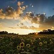 Sunflower Field Sunset Poster