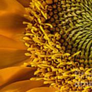 Sunflower Grace Poster