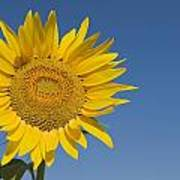 Sunflower, Helianthus Annuus Poster