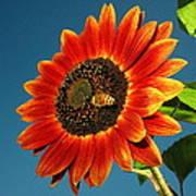 Sunflower Honey Bee Poster