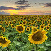 Sunflower Images - A Field Of Golden Texas Wildflowers Poster