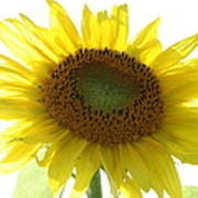 Sunflower In Light Poster