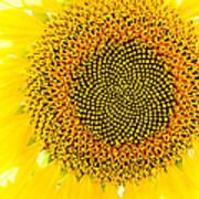 Sunflower In The Summer Sun Poster