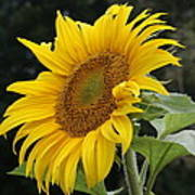 Sunflower Looking To The Sky Poster