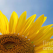 Sunflower Looking Up Poster