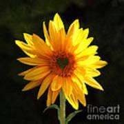 Sunflower Love Poster