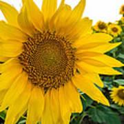 Fibonacci In Full Bloom Poster