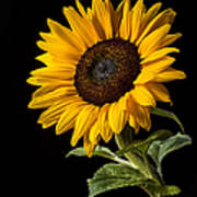 Sunflower Number 2 Poster