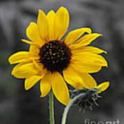 Sunflower On Gray Poster