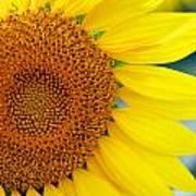 Sunflower Petals Poster