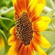 Sunflower Side Portrait Poster