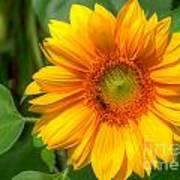 Sunflower Smile Poster