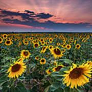 Sunflower Sunset Poster