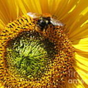 Sunflower With Bee Poster