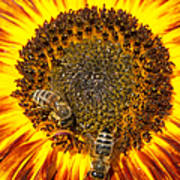 Sunflower with bees Poster
