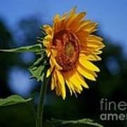 Sunflower With Honeybee Poster
