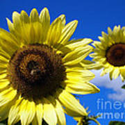 Sunflowers Against A Blue Sky Poster