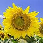 Sunflowers And Blue Sky Poster