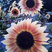 Sunflowers At Dusk Poster