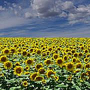 Sunflowers Forever Poster